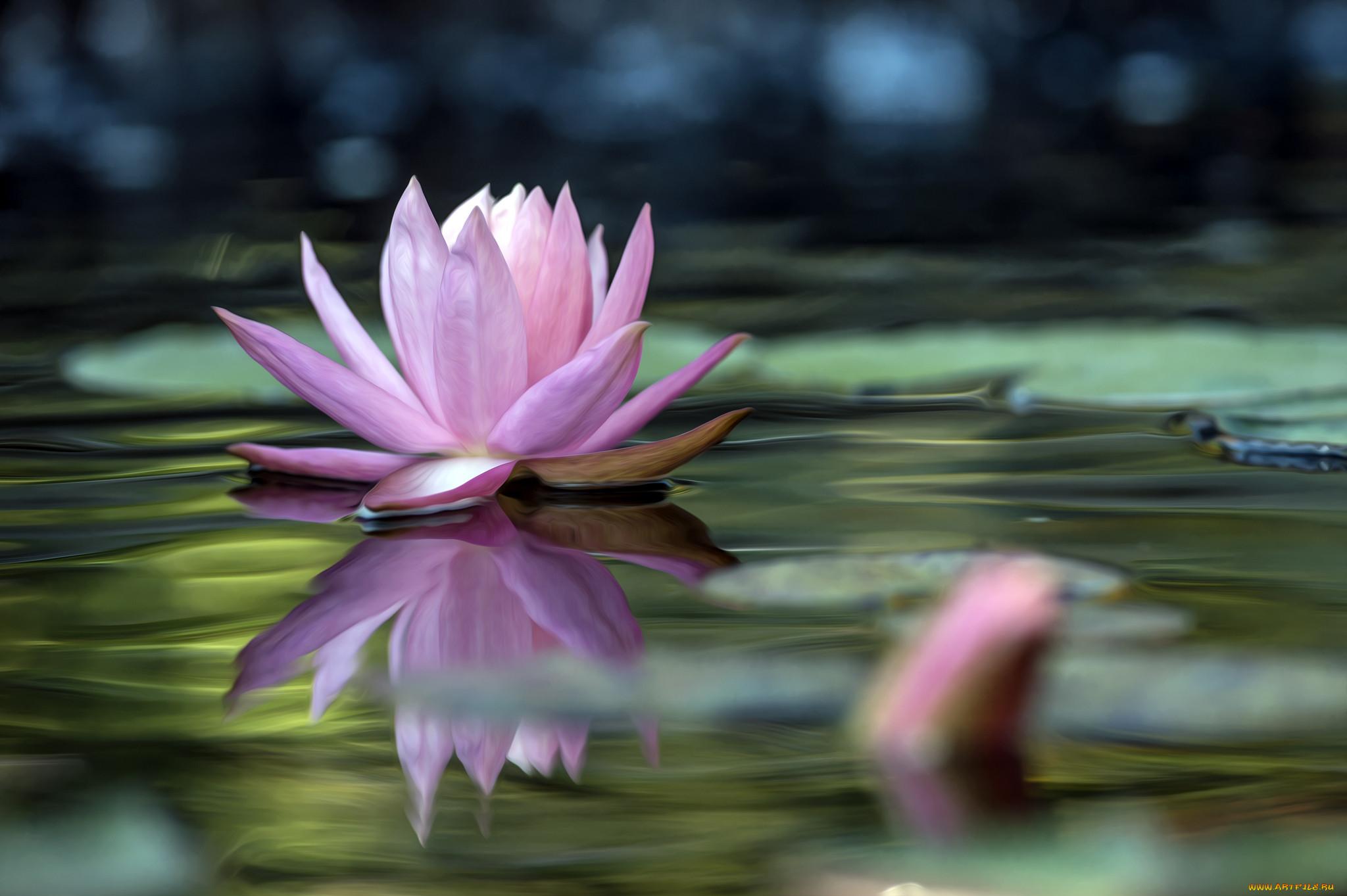 водяные лилии и лотос картинки новых друзей